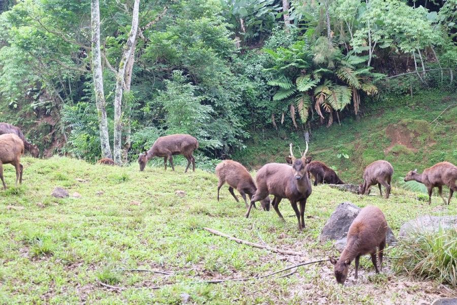 A herd of deer at Eden Nature Park, Eden Bayabas, Toril, Davao City