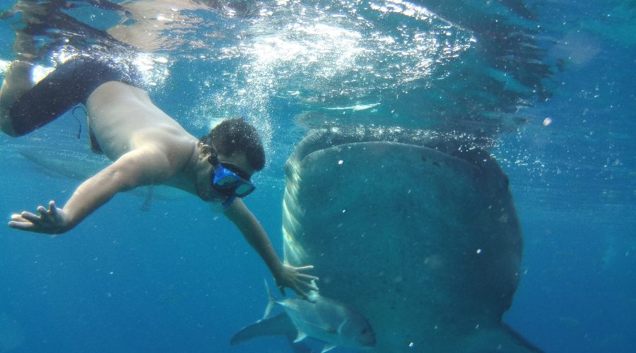 Swimming with whale shark in Oslob