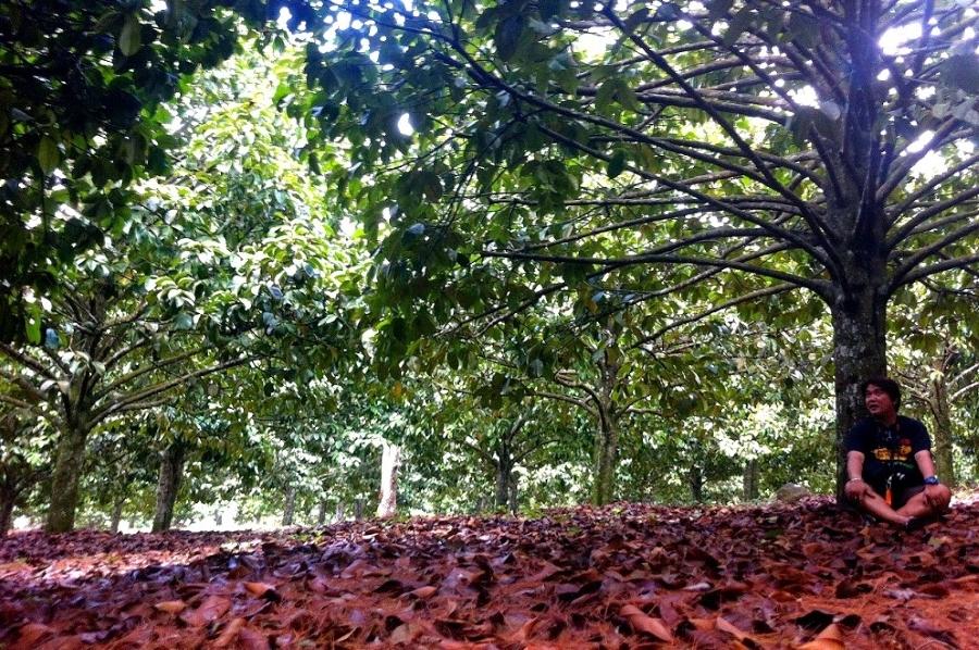 Mangosteen Plantation at Eden Nature Park, Eden Bayabas, Toril, Davao City.