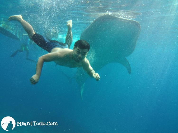 Swimming with whaleshark in Oslob